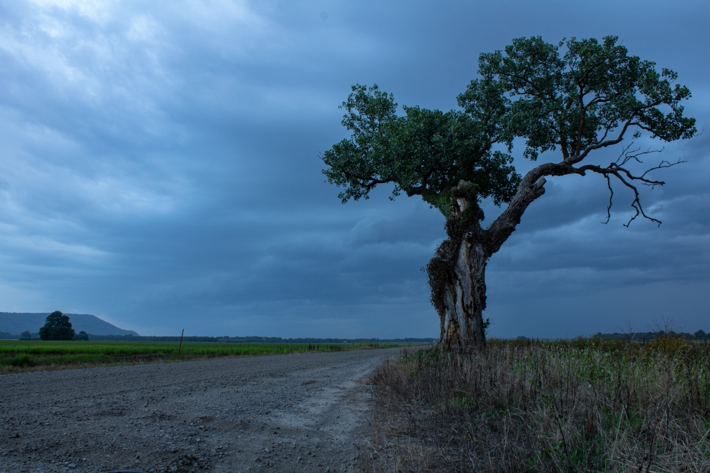 Distinctive gnarled tree in front of a stormy dark sky.