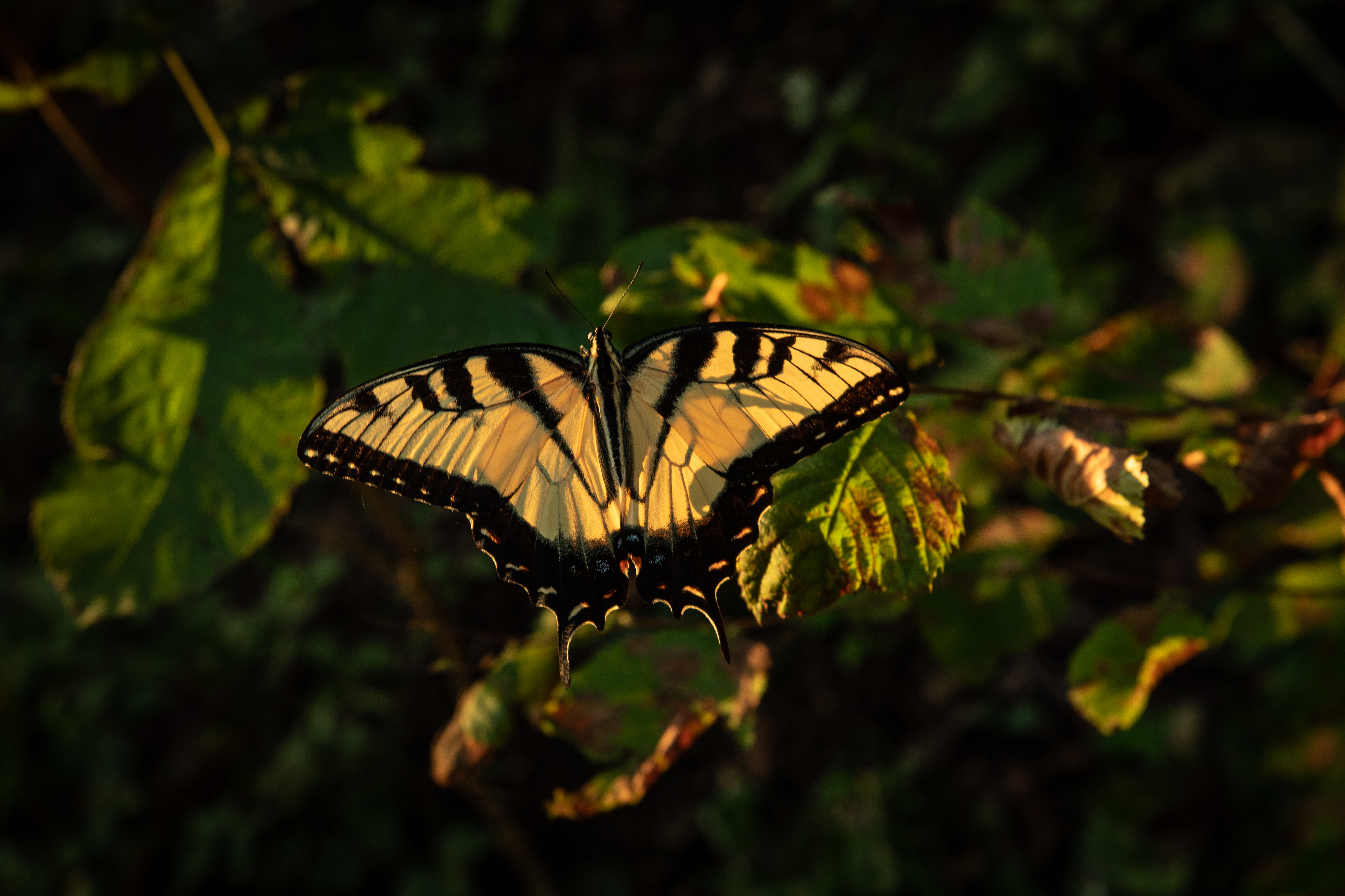 Eastern tiger swallowtail butterfly on the trail