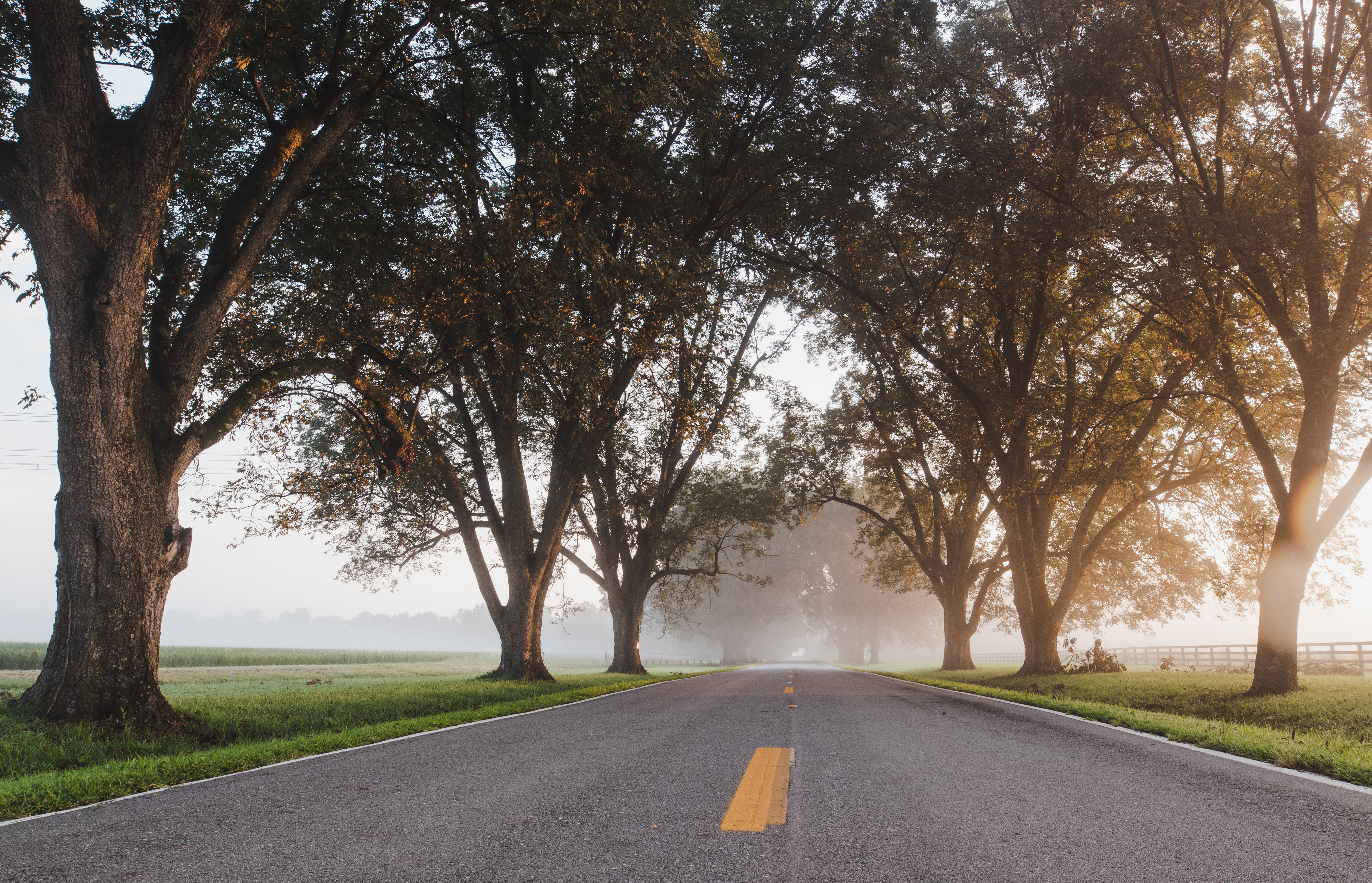Road lined with pecan trees on a foggy morning