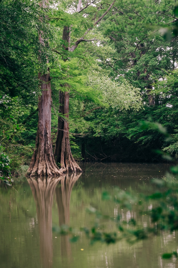 Cypress trees reflecting in the Little Maumelle River near Little Rock