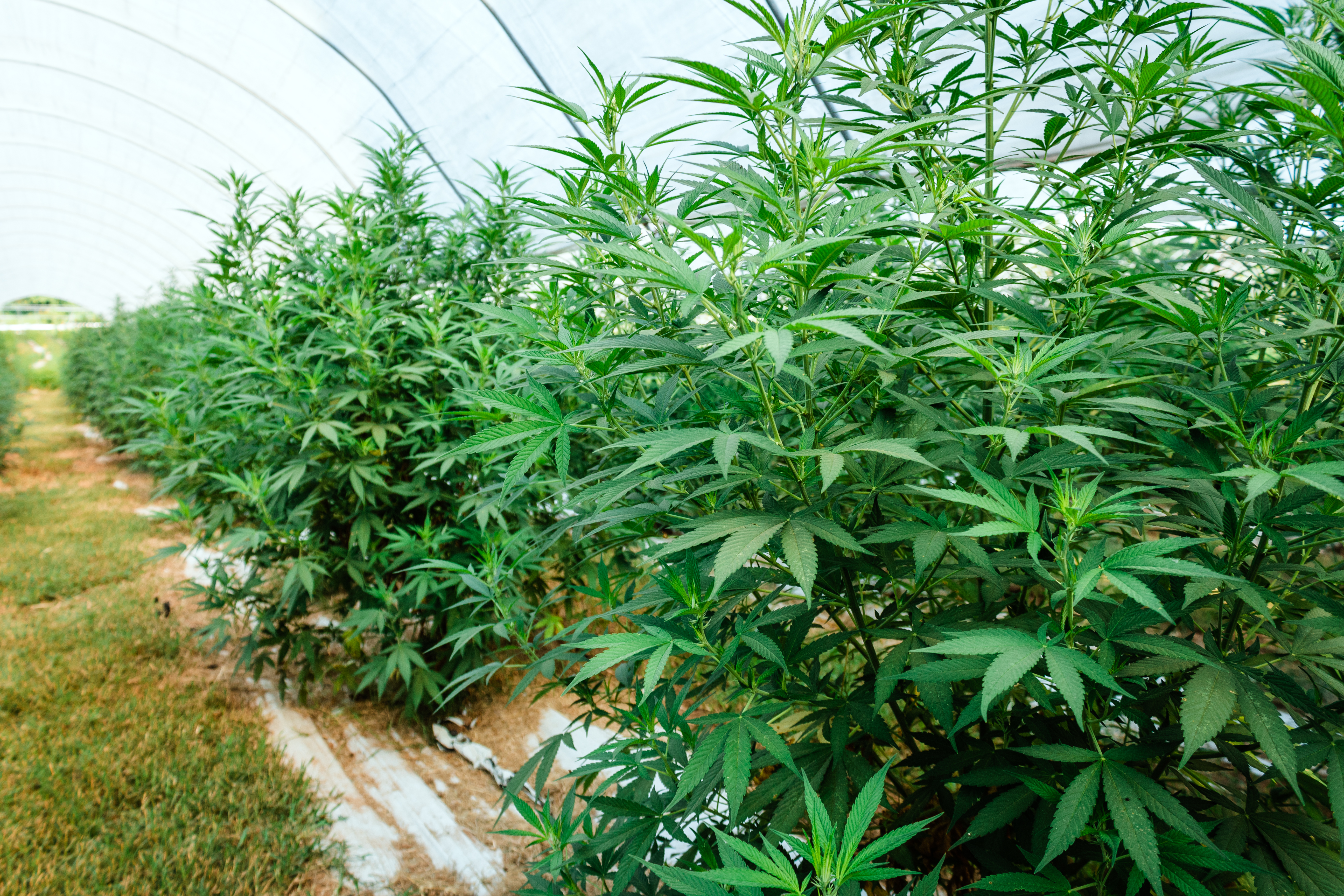 Rows of cannabis in a hoop house
