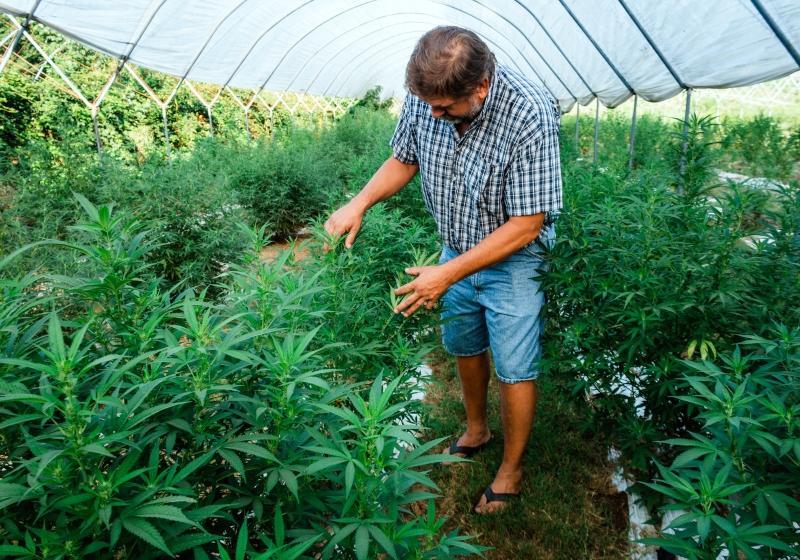 Man inspects cannabis plants